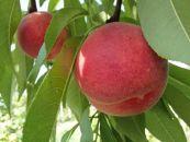 先行予約/笑顔の元、幸福の果実もも/夏かんろ3kg(11玉~13玉)