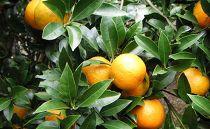【数量・期間限定】沖縄果実たんかん 約4kg