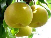 先行予約/健康にいい栄養たっぷりな梨なし/幸水3kg(7玉~8玉)