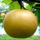 先行予約/健康にいい栄養たっぷりな梨なし/新高2kg(3玉~4玉)