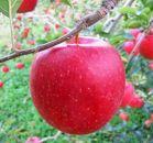 先行予約/ほっぺの落ちる林檎 りんご/陽光2kg(5玉~6玉)