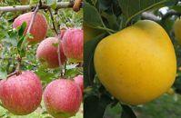 先行予約/シャキシャキ食感・スマート、フレッシュな林檎詰合せりんご/シナノゴールド&シナノスイート2kg(5玉~6玉)