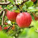 先行予約/シャキッと爽快、太陽をたっぷり浴びた林檎 りんご/サンふじ/蜜入り2kg(5玉~6玉)