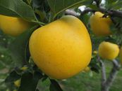 先行予約/林檎で伝える感謝の心りんご/シナノゴールド3kg(7玉~8玉)