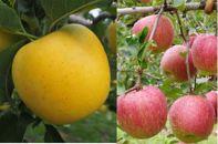 シャキシャキ食感・スマート、フレッシュな林檎詰合せ りんご/はるか&サンふじ2kg(5玉~6玉)
