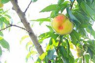 【糖度12%!!】契約農家自慢の清水白桃 (4kg)