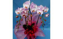 ◆ミディ胡蝶蘭(ピンクピース) 3本立