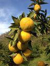 紀州かつらぎ山のジャバラ果実<完熟>3kg