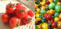 おくやま農園 ミディトマト「ファン・ゴッホ」&カラフルミニトマト詰め合わせセット(数量限定/期間限定)