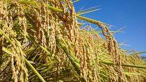 【令和2年産】こだわりの生産者がつくる 特別栽培米南魚沼産こしひかり「雪穂」20kg