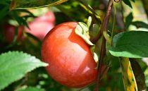 ★11月発送★【柿好き必見】幻の陽豊柿(ようほうがき)(3kg)