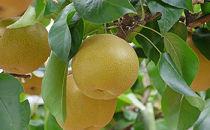 梨「豊水」