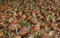 ◆【農薬・化学肥料:不使用】高島市マキノ町産玉ねぎ10㎏(S~M規格)
