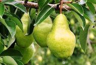 安心・安全の洋梨『バラード』をお届け!8~10個入り(さとう果樹園)