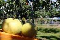 R021 ★期間限定★高級品種の梨 「かほり」