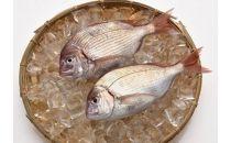 「愛海の恵み」 大分豊後水道産天然血鯛(約2kg 5~7枚)