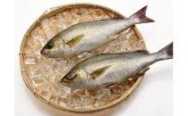 「愛海の恵み」大分豊後水道産天然イサキ(約2kg 2~4本)