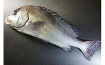 「愛海の恵み」大分豊後水道産天然コショウダイ(約2kg 1枚)