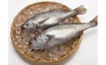 「愛海の恵み」大分豊後水道産天然クログチ(約2kg 2~4本)