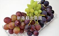 2019年予約開始☆【新藤観光農園】秋限定‼葡萄お任せセット☆3種