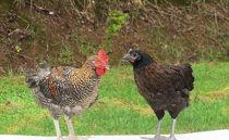 雪味鶏(新潟地鶏)の肉