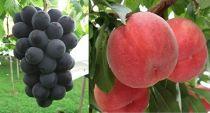先行予約/厳選した白桃と大粒の葡萄のオリジナルセット