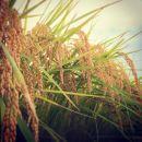 栃木県栃木市岩舟町産米3種食べくらべセット各2kg精米