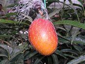 【先行予約】鉢で栽培したおしゃれな完熟マンゴー