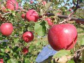 BM057安野農園りんごふじ無袋栽培5kg秀品