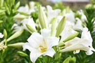沖永良部島で大切に育てられた えらぶユリ切り花