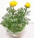 三豊市特産【ラナンキュラス】4寸鉢植え×2鉢