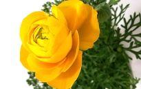 【ポイント交換】三豊市特産【ラナンキュラス】5寸鉢植え×2鉢