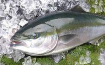 豊後水道の荒波で育てられた蒲江産養殖ブリ約5kg