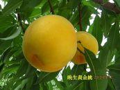 香川県三豊市産「晩生黄金桃ゴールデン」2kg