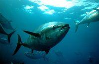 (漁業体験)1泊2日のまぐろ養殖餌やり体験とタコかご漁