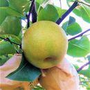 二十世紀梨(秀品(2.5キロ)たさき農園)