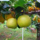 二十世紀梨(ひかり果樹の会)