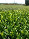「北村茶園」有機栽培緑茶抹茶入りティーバッグ 6本