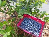 完熟ブルーベリーと夏野菜5品種のセット