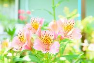 BM178佐藤庄右衛門の花束『アルストロメリア』ピンク15本