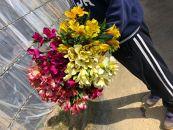 BM179佐藤庄右衛門の花束『アルストロメリア』20本 ピンク・黄色・紫・白各5本