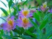 BM183佐藤庄右衛門の花束『アルストロメリア』2色20本紫・ピンク
