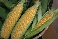 【令和元年度】宮城県登米市産千石農園のとうもろこし10本入り2箱