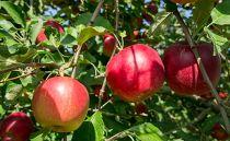 津軽産アップルパイに最適な紅玉りんご(約5kg)