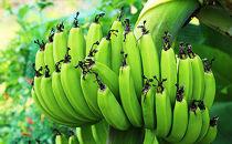 沖永良部島の遠いあの日が甦る懐かしの味「島バナナ」3kg