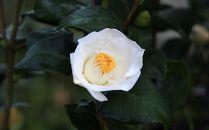 ☆究極の茶花椿「月照」6号鉢接木開花見込み苗