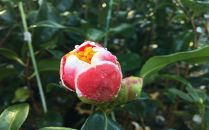 ☆椿名花「玉の浦」5号鉢開花見込み苗