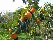 一心農園の富有柿 家庭用 約4㎏