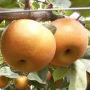 【先行予約】有田の樹上成熟梨 特撰南水梨 約4.5kg