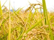 「日本一出荷の早い新米」種子島産コシヒカリ10kg(5kg×2)